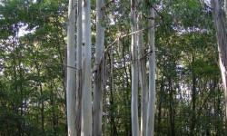 Foret d'eucalyptus de plus de 20hectares,dans le gers