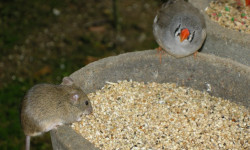 La souris et le mandarin