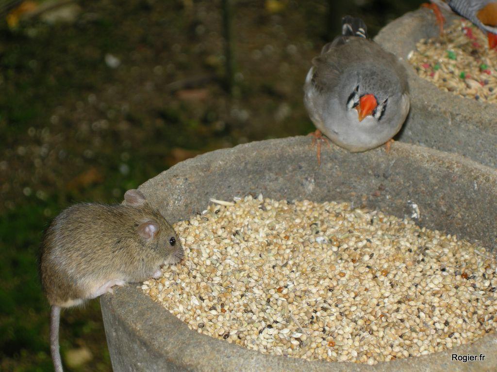 La souris et le mandarin dans animaux mandarin022-copie-2
