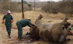 La betise et la connerie humaine est sans limite .Les rhinocéros du parc Limpopo au Mozambique sont tous morts. ( goodplanet.info)